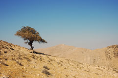 Lonely tree. Lonely tree in hilly dry desert, Jordan Royalty Free Stock Photos