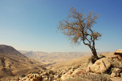 Lonely tree. Lonely tree in hilly dry desert, Jordan Stock Photography