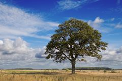 Lonely tree. Lonely oak in field in the end of the summer Stock Photo
