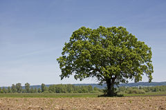 Lonely tree. On a field in Upper Bavaria Stock Photo