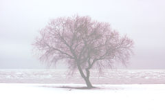 Lonely Tree. In the winter, beautiful  in a fog stock image