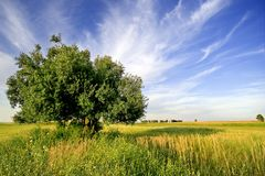 Lonely tree. Landscape with a tree and grass in a summer day Royalty Free Stock Photo