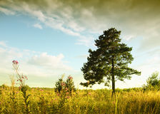 Lonely tree. Lone pine tree stands in a field Stock Images