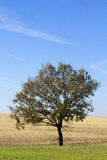 Lonely tree. In a green field and blue sky royalty free stock photography