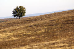 Lonely tree. In the field stock photography