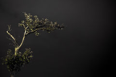 Lonely tree. A lonely tree shot against a grey background. The tree is illuminated frpm below Royalty Free Stock Photos