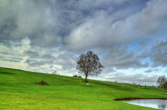 Lonely tree. On the idyllic golf club Royalty Free Stock Images