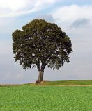 Lonely Tree 2. Lonely tree on the edge of a green field. Looks strong and proud and have peace and harmony around. Shot in September 2006 in the Fichtelgebirge Stock Photos