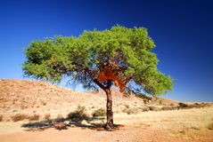 Lonely tree 2. A lonely tree with birds' nests, Namibia Africa Royalty Free Stock Image