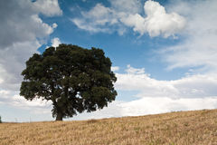 The lonely tree. Lonely green tree in field Stock Images