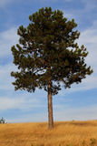 Lonely tree. Photo of a lonely looking pine tree taken in late summer Royalty Free Stock Photography