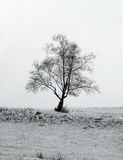 Lonely tree. A lonely tree standing on snowy plain Royalty Free Stock Image
