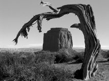 Lonely Tree. Lone Juniper pine framing rock formation in Monument Valley in black and white stock image