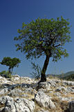 Lonely Tree. On the rocks against the clear blue sky on a sunny summer day Stock Image