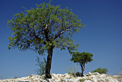 Lonely Tree. On the rocks against the clear blue sky on a sunny summer day Royalty Free Stock Photography