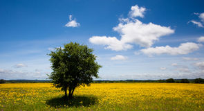Lonely tree. Lonly tree and wild flowers Stock Photos
