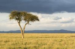 Lonely Tree royalty free stock photos