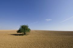 Lonely tree. In French landscape after harvest stock photography