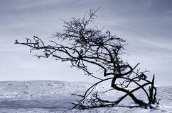 Lonely tree. In winter scene Royalty Free Stock Photo