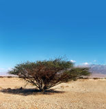 Lonely tree. A lonely tree in the desert Royalty Free Stock Image