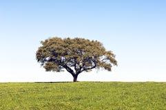 Lonely tree. In green grass landscape, Alentejo, Portugal Stock Photo