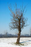 Lonely tree. A lonely tree on the snow Royalty Free Stock Image