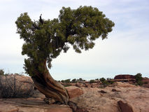 Lonely Tree. Lonely Pinon tree on wind swept desert rock Stock Photography