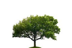 Lonely Tree. Big green tree isolated on white background Royalty Free Stock Image