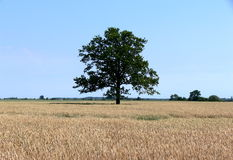 Lonely tree. In the field of wheat Stock Photography