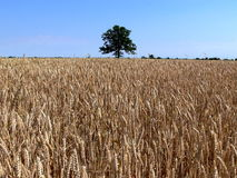 Lonely tree. In the field of wheat Royalty Free Stock Photography