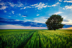 Lonely tree against a blue sky Stock Photo
