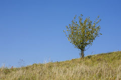 Lonely tree. Royalty Free Stock Image