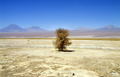 Lonely tree in the atacama desert, chile Royalty Free Stock Images