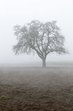 Lonely tree on Austrian field appearing out of the haze Royalty Free Stock Images