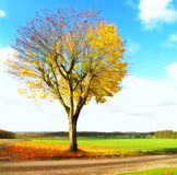 Lonely tree in autumn Royalty Free Stock Images