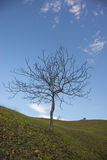 Lonely tree in autumn and blue sky Stock Photos