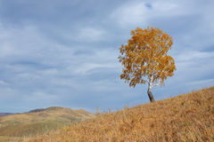 Lonely tree in autumn. A lone tree in the fall in bad weather in the mountains Stock Image