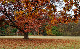 Lonely tree in autumnal park Stock Image