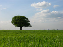 Lonely Tree Background. Single Tree Stock Photo