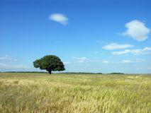 Lonely Tree Background. Single Tree And A Blue Sky royalty free stock photography