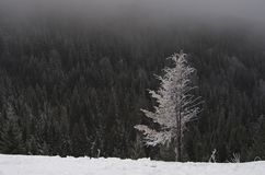Lonely tree on the background of a winter forest. Snow-covered tree standing alone against the backdrop of misty winter forest Stock Photos