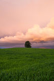 Lonely tree on the barley field Stock Photography