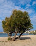 Lonely tree on the beach near the sea Royalty Free Stock Image