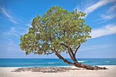 Lonely tree on the beach. One lonely tree growing in the sand on the beach Royalty Free Stock Image