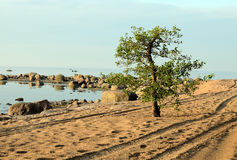 Lonely tree on the beach. The tree between two tracks Royalty Free Stock Image