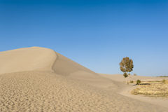 A lonely tree besides the sand dunes Royalty Free Stock Images