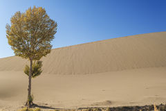A lonely tree besides the sand dunes Royalty Free Stock Photography
