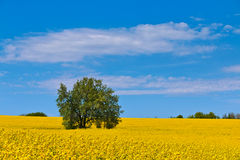 Lonely tree. In a big yellow cole field Stock Photo