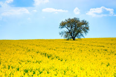 Lonely tree on the blooming colza field Stock Images