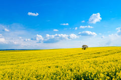Lonely tree on the blooming colza field Stock Photos
